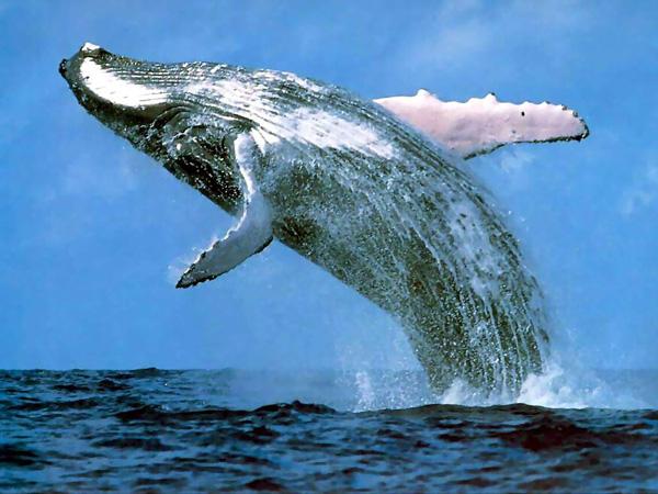 Ni Japón apoya propuesta de reapertura de caza de ballenas impulsada por embajador chileno