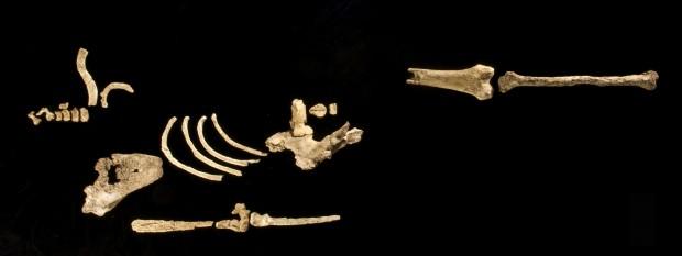Científicos anuncian descubrimiento de pariente de 'Lucy' de 3,6 millones de años