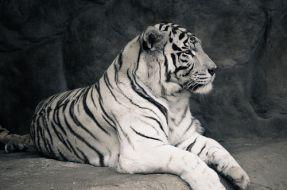 Sacrifican a tigre blanco en el zoológico metropolitano, tras ataque a un funcionario