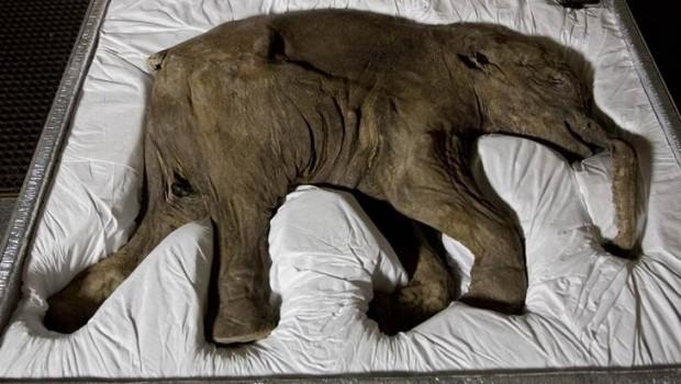 Exhibirán cría de mamut en Europa por primera vez