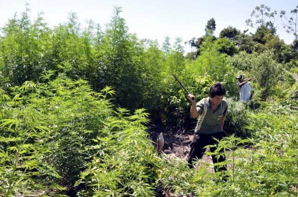 Marihuana legal acaba con el narcotráfico en carteles mexicanos