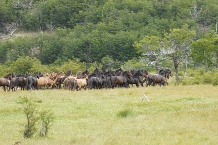 """'Chile Sustentable' valora decisión de Fundación Yendegaia de poner fin a contrato sobre """"caza de caballos"""""""