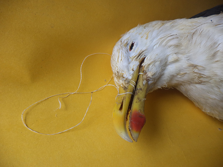 Si se corta tú volantín, retira tú hilo y protege las aves Chilenas