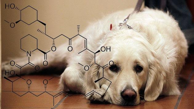 Una medicina que se experimentará en perros podría prolongar la vida humana