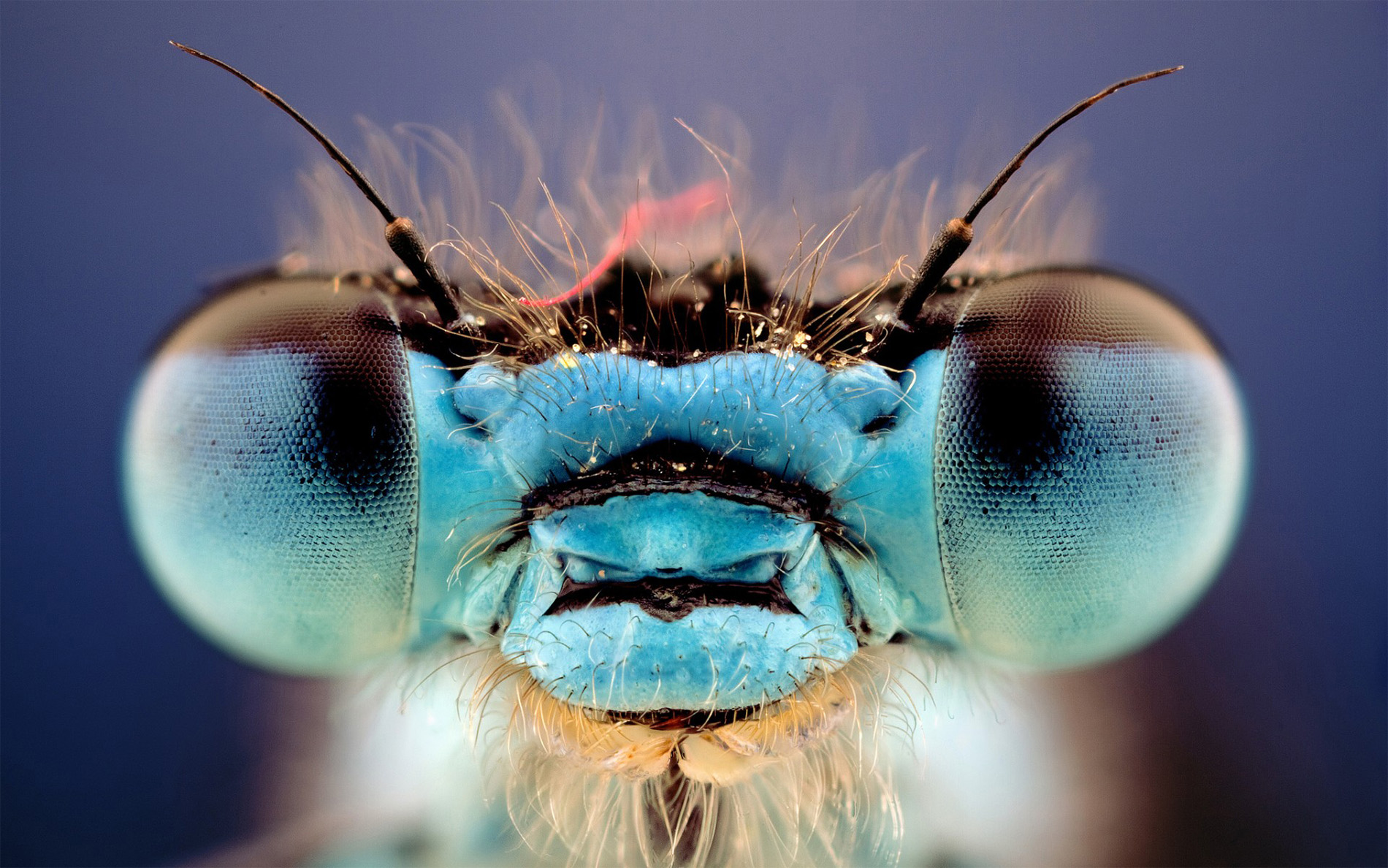 Los ojos de la libélula ven el mundo en multicolor