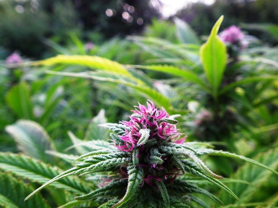Nuevo estudio revela que fumar marihuana es 114 veces más seguro que tomar alcohol