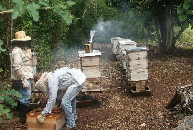 Los transgénicos ponen en riesgo a la apicultura
