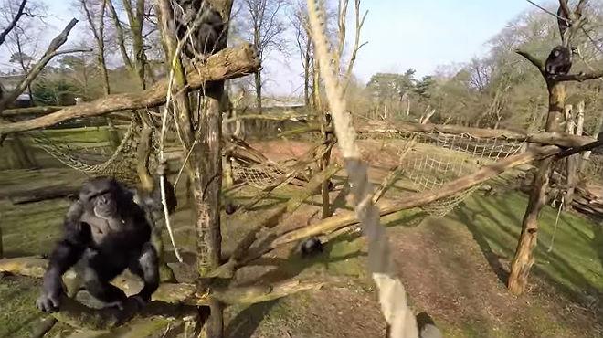 Chimpancé derriba un dron y video es visto por más de un millón de personas