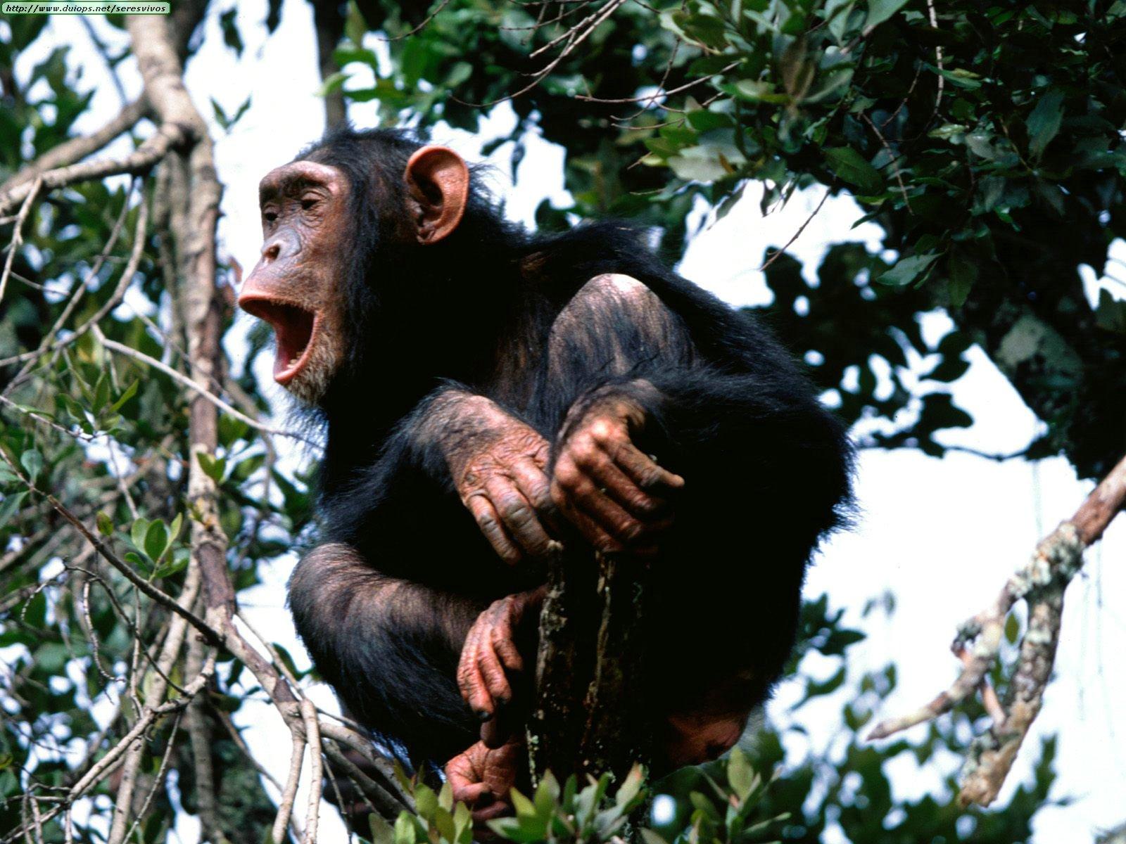 Científicos descubren que a los chimpancés les gusta «ser curaos» en grupo