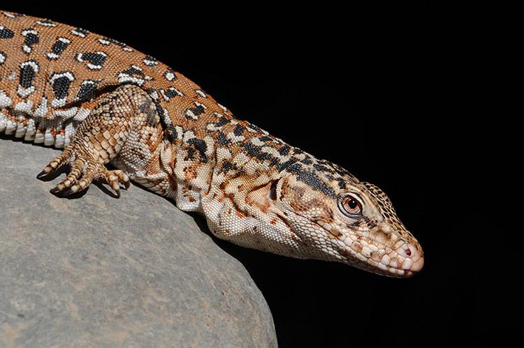 """Descubren una nueva especie de iguana """"escondida a plena vista"""" en el Caribe"""
