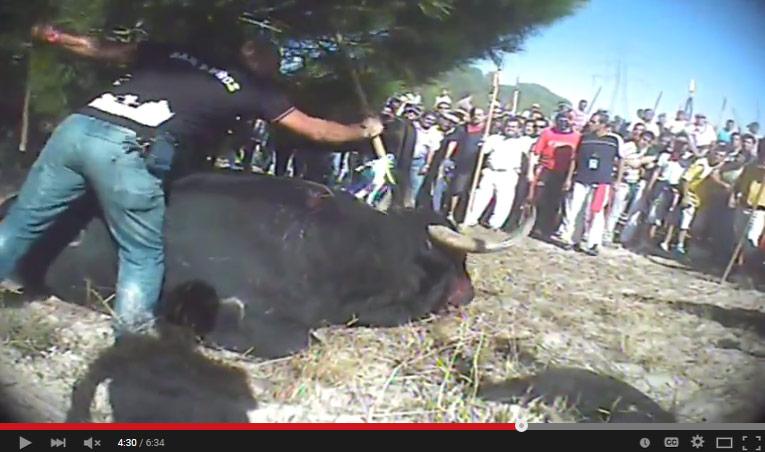 VIDEO: ONG animalista obtiene imágenes inéditas de tortura y asesinato de toros