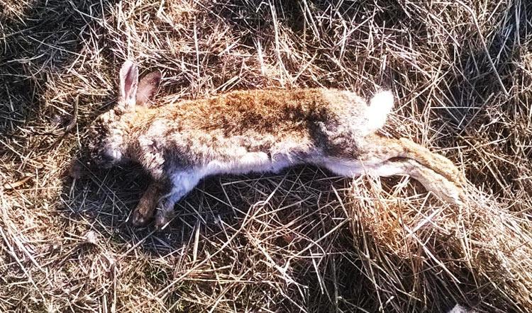 Vecinos reportan masiva mortandad de conejos posiblemente envenenados en humedal El Yali