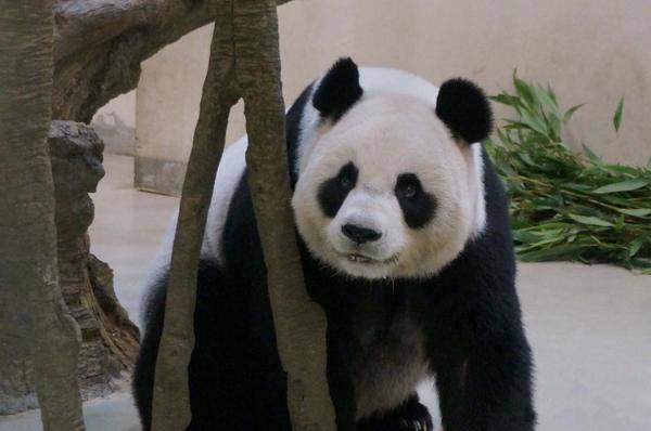 Osa panda finge estar embarazada para obtener mejores cuidados