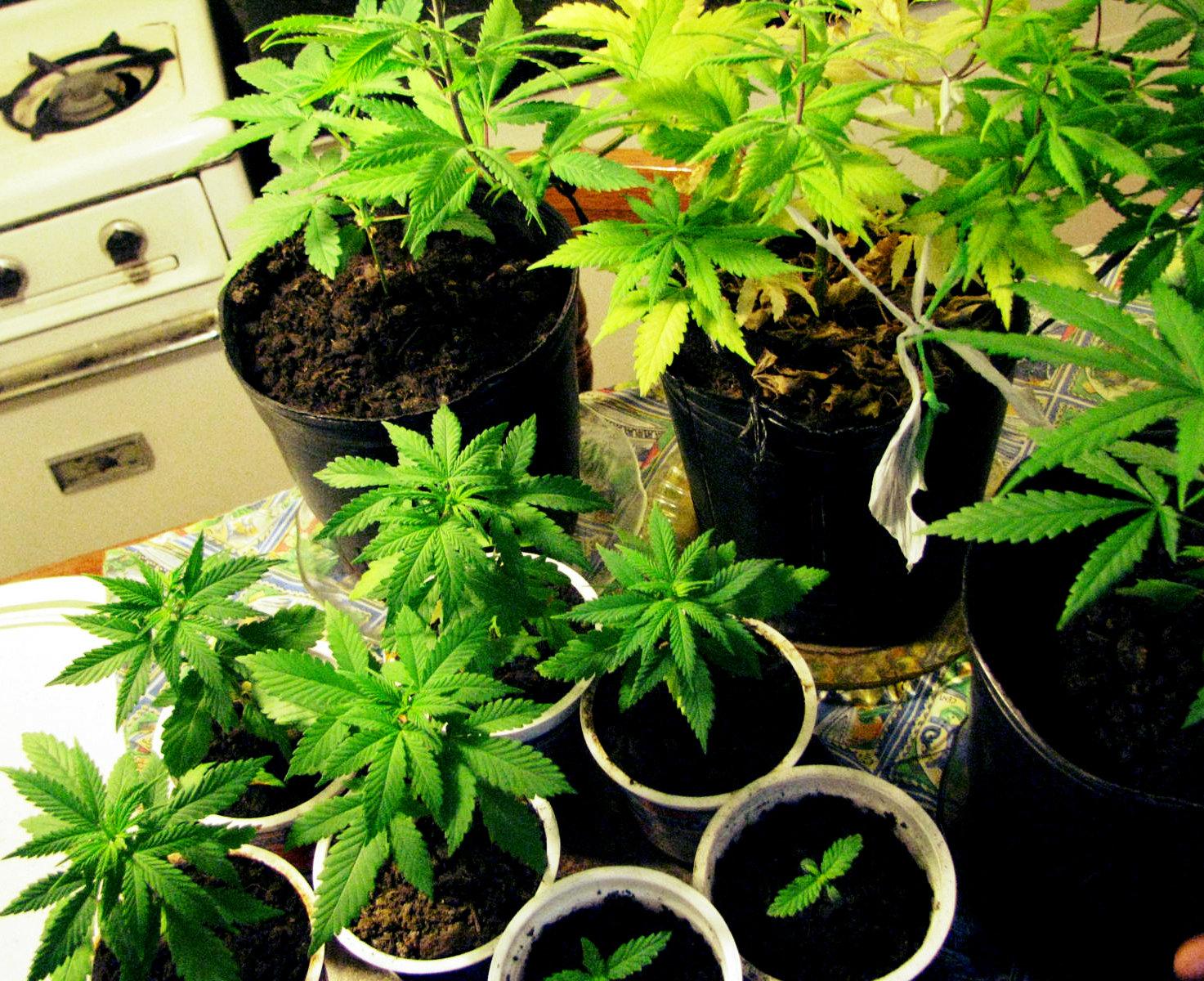Autocultivo en Argentina: ¿Mamá, puedo tener mi planta?