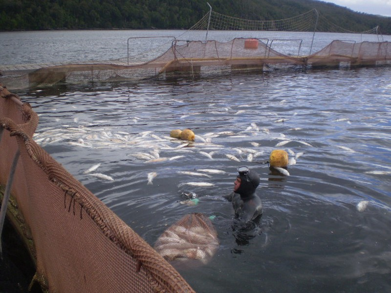 Muere buzo salmonero de multinacional noruega que opera en Aysén