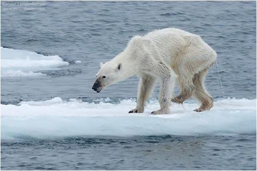 El oso polar al borde del colapso como especie