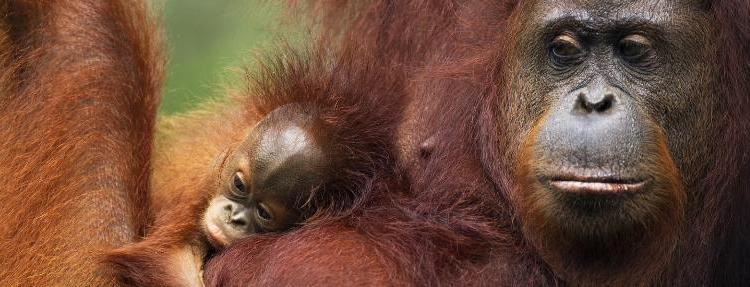 Más de la mitad de los primates del mundo están en riesgo de extinción