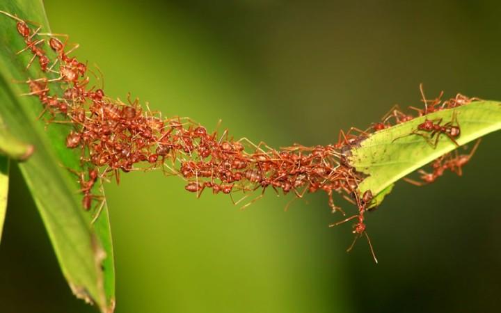 Estudian comportamiento colectivo de hormigas para aplicarlo en robótica