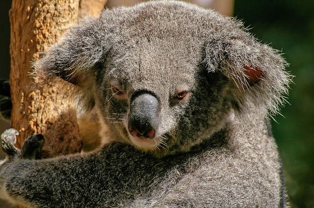 Ciencia para todo: en qué se parecen el vino y la orina de koala