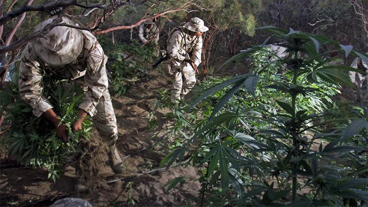 ¿Acabará con el narcotráfico la legalización de la marihuana en México?