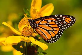 Desarrolla UNAM modelo para salvar a la mariposa monarca