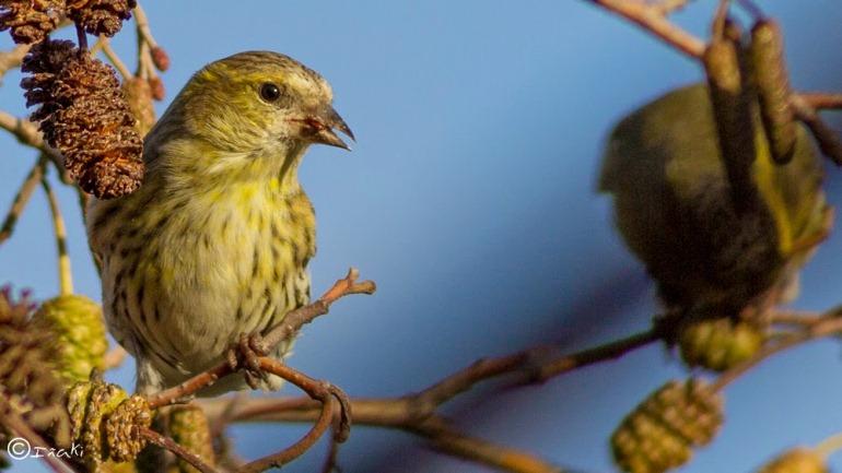 Conoce al lúgano; un pequeño pájaro que también ama viajar con sus amigos cercanos