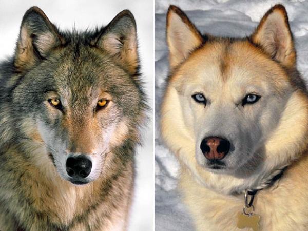 Científicos aún debaten sobre el origen de los primeros perros (pero ya se acercan a una conclusión)