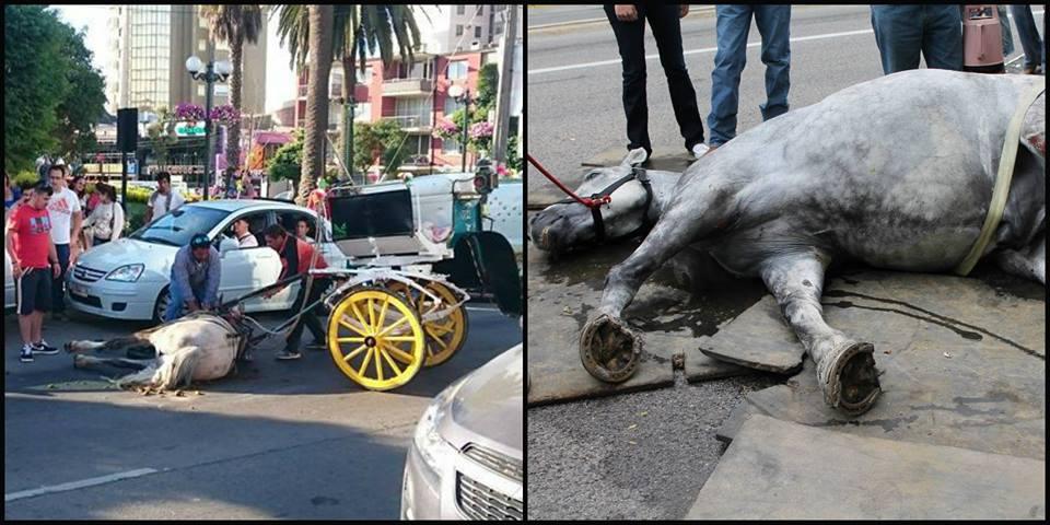 Municipio de Viña interpone querella por maltrato a caballos de coches Victorias