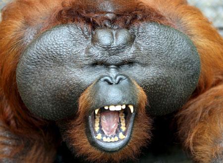 Lo nunca antes visto en el mundo de los orangutanes