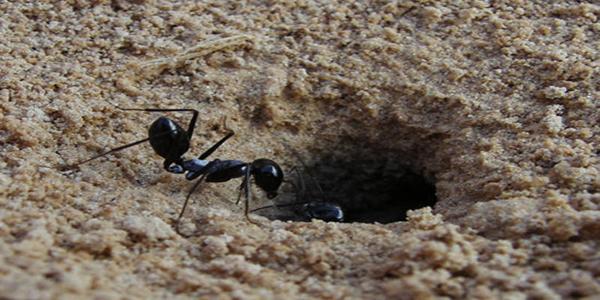 VIDEO: Un nido de hormigas habitaba dentro del oído de una niña