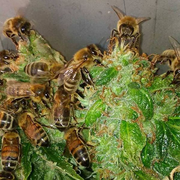 Nicolas Trainerbees, el apicultor que ha conseguido que sus abejas hagan miel con resina de marihuana