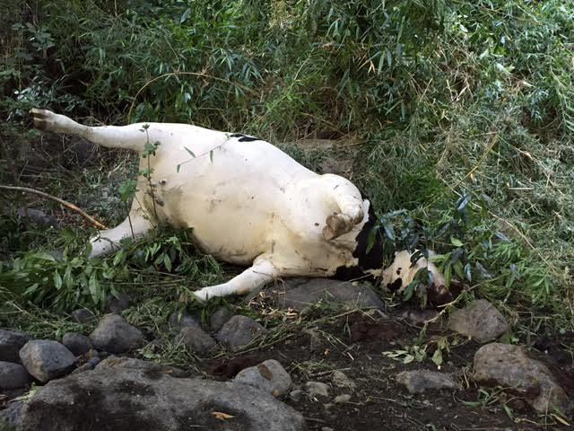 Asesinato masivo de vacas en Río Bueno