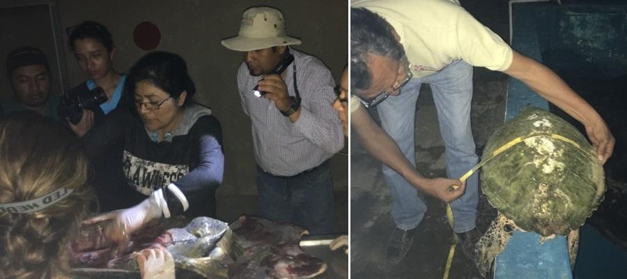 Alertan sobre mortandad de tortugas en costas de Oaxaca