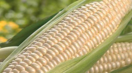 Diconsa compra dos mil toneladas de maíz para Chiapas