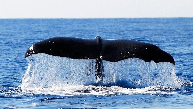 Delfines y ballenas usan sus cantos para repartirse la comida en el Océano Atlántico