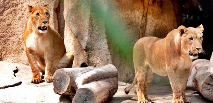 Llegan dos leonas al Zoológico de León