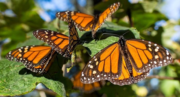 Las mariposas monarca por fin aumentaron su número después de muchos años