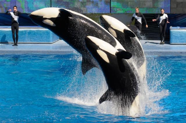 EEUU: SeaWorld terminará para siempre con el cautiverio de orcas