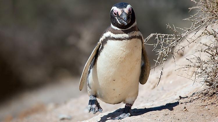 Pingüino nada 8.000 kilómetros todos los años para reencontrarse con un brasileño que le salvó la vida