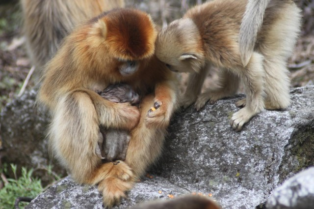 """Investigadores presenciaron un nacimiento con """"partera"""" en una especie de primates"""