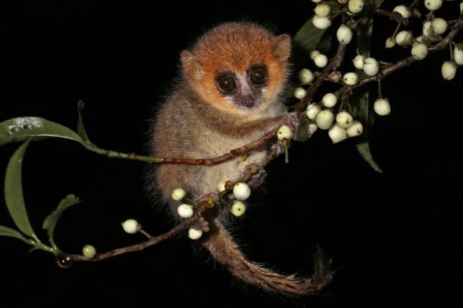 Descubren tres nuevas especies de pequeños primates en Madagascar