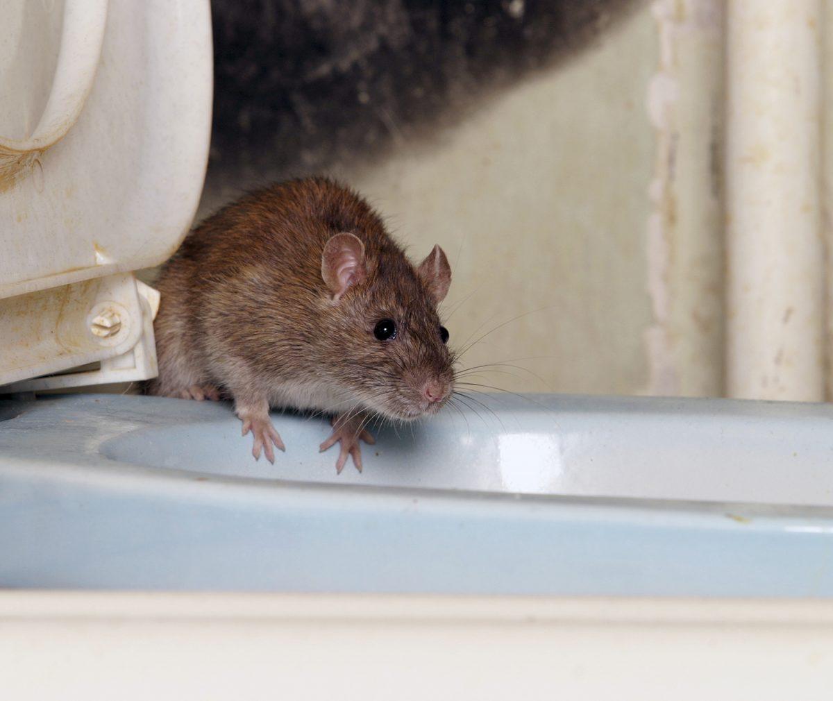 Descubren que un roedor puede vivir a una altitud de 6.739 metros sobre el nivel del mar