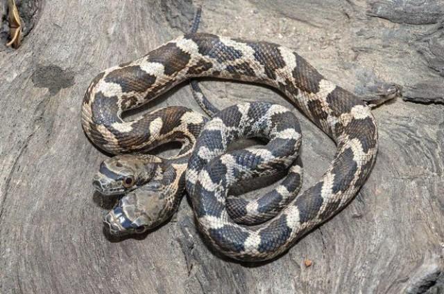 Una serpiente de dos cabezas parece tener dos personalidades diferentes
