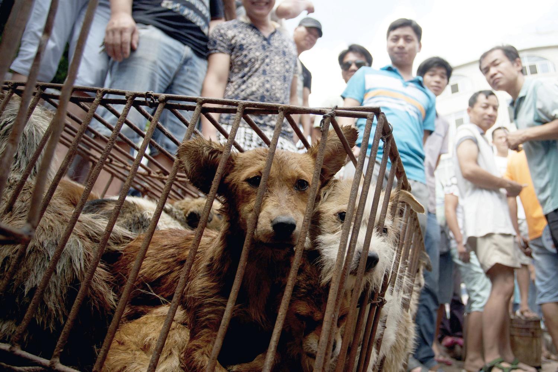Grotesco festival de la carne mata a más de 15.000 perros al año para cocinarlos