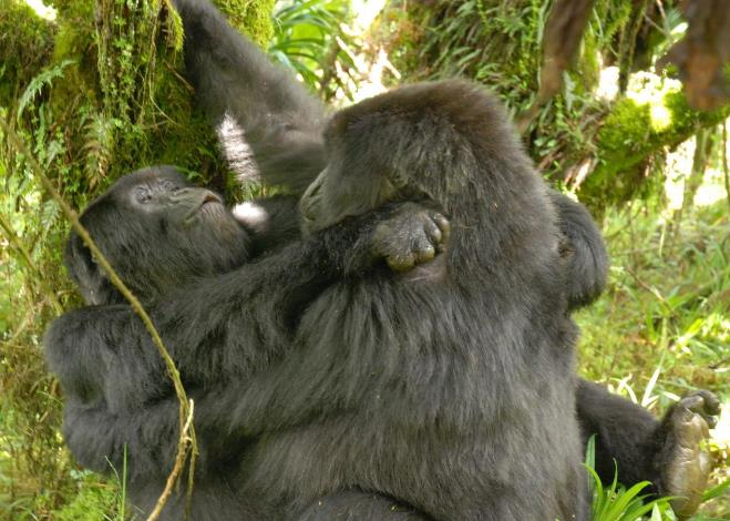 Biólogos observan por primera vez comportamiento lésbico en gorilas salvajes