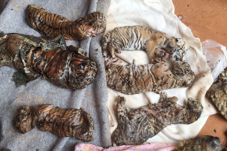 40 cachorros tigres fueron hallados muertos en un congelador para ser vendidos como medicina