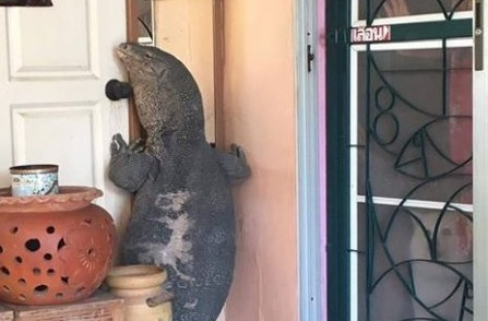 Enorme lagarto aterroriza a aldeanos tocando a sus puertas