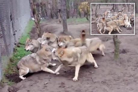 Feroz pelea de lobos en cautiverio causa furia en las redes