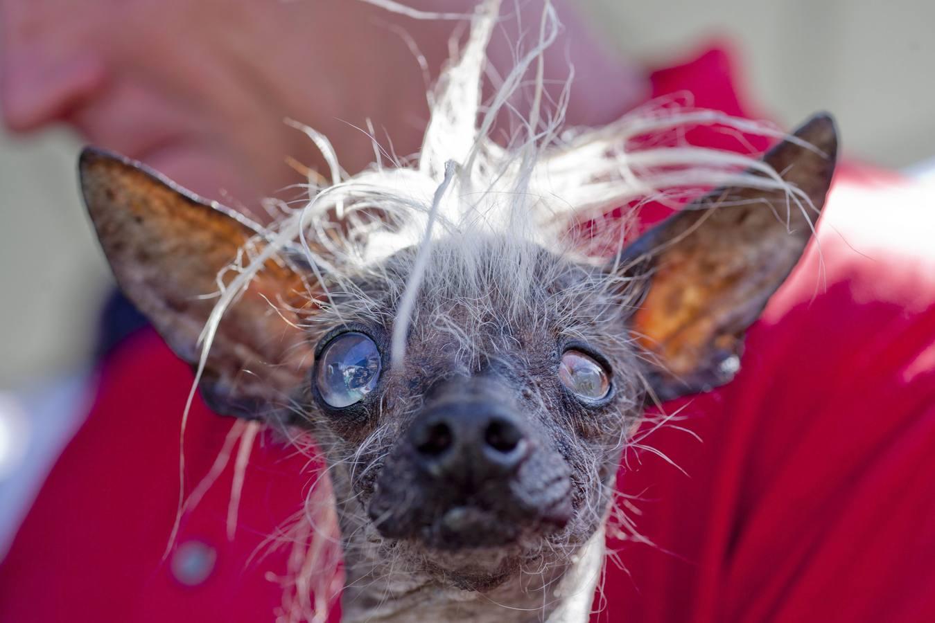 Dueño del perro más feo del mundo es acusado de jugar con la salud del animal