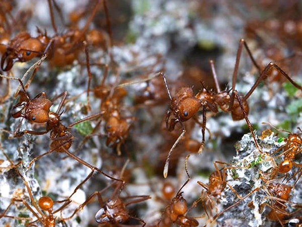 Las hormigas dejaron de ser cazadoras-recolectoras y desarrollaron la agricultura hace 60 millones de años